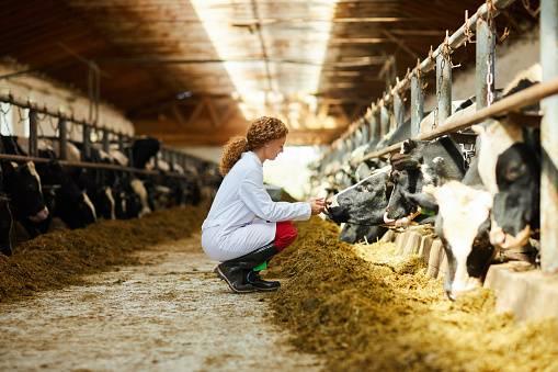 weterynarz badający krowy