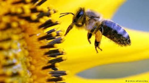 pszczoła zbierająca pyłek